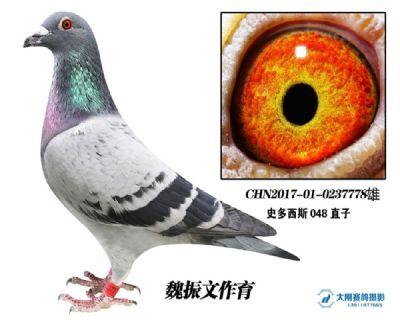 史多西斯048直子X考夫曼血系  特留种鸽