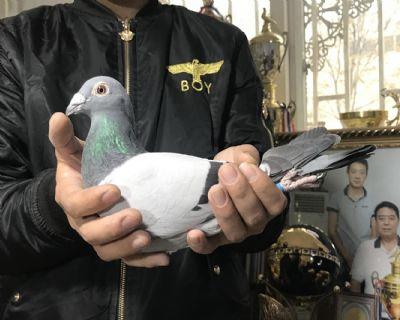 天体14-150884 雄 路易十三瓦特当家种鸽风貌