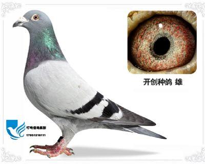 引进  开创种鸽
