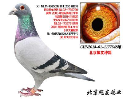 夏拉肯超级种鸽【爵士230】直子548