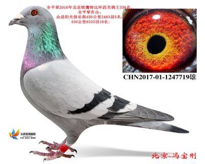 1.一号拍卖鸽.1247719
