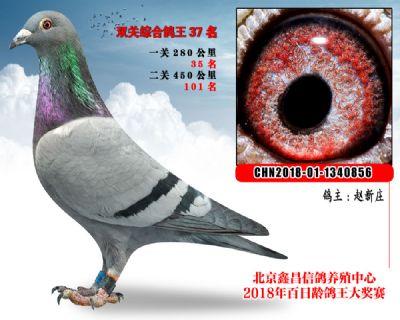 赵新庄37乔斯托内国家Ⅱ号血统家系参考雌
