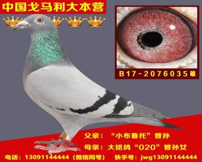 B17-2076035雄