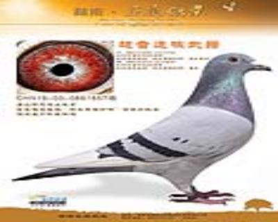 """【唐山开尔鸽业】世界超级名鸽""""白头席维斯特""""近亲外孙女"""