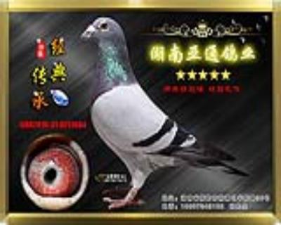【公棚超级奖鸽】2015年贵州平翔公棚决赛271名