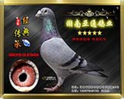 【公棚超级奖鸽】2015年贵州平翔公棚决赛205名