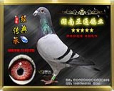 【公棚超级奖鸽】2015年贵州天喜公棚决赛270名