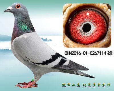 杨欧瓦克483 原环子代 高级种雄