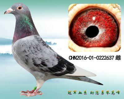 杨欧瓦克483近血 玉嘴玉爪 金母