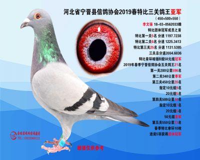 2019年春特比三关鸽王亚军
