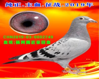 16号拍卖鸽