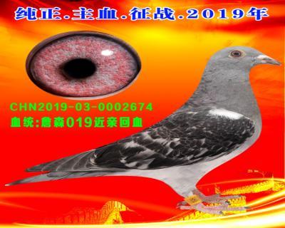 20号拍卖鸽