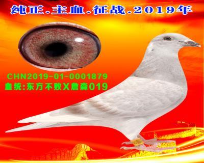 24号拍卖鸽