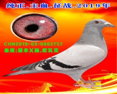 25号拍卖鸽