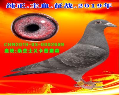 41号拍卖鸽