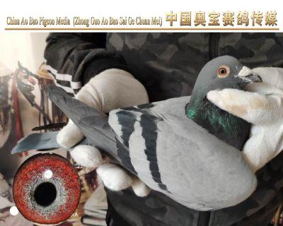利奥.贺尔曼斯003家族17-136雄鸽