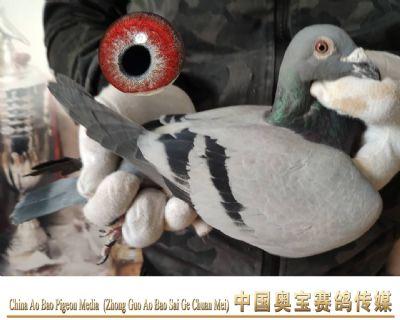 利奥.贺尔曼斯003家族18-095雄鸽