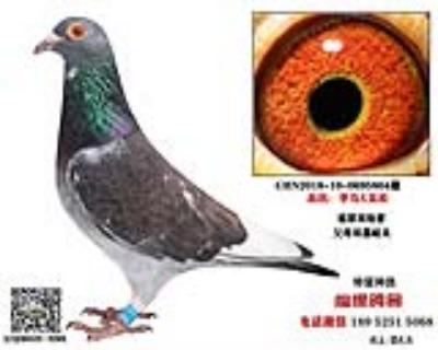 李鸟吴淞种鸽2