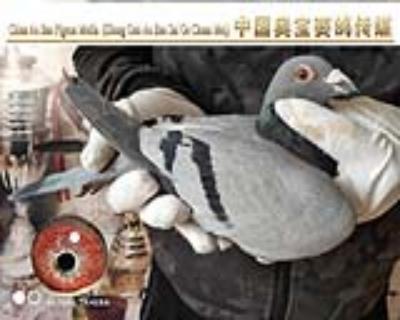 利奥.贺尔曼斯003家族17-077雌鸽