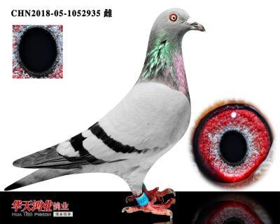 凯西波西瓦原舍直子  六关鸽王6