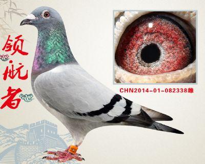 推荐金牌种鸽 杨欧瓦克483 作出前十6羽