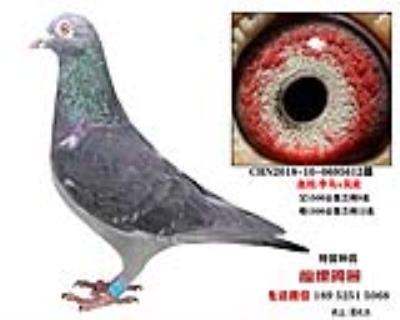 李鸟吴淞种鸽3