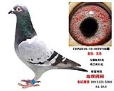 吴淞种鸽2