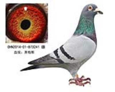 英格斯种鸽241