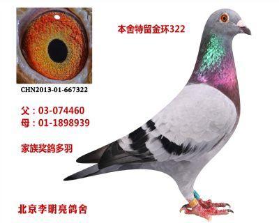 金环种鸽322