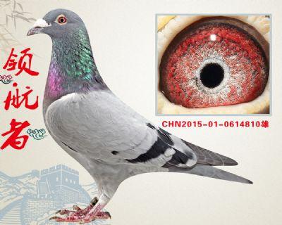 杨欧瓦克483  高级种雄