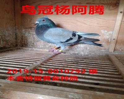 鸟冠杨阿腾黄金雄