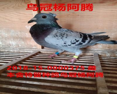 鸟冠杨阿腾黄金雌