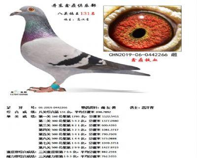 丹东鑫鼎八关鸽王131名
