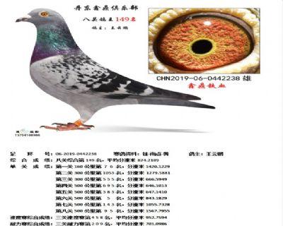 丹东鑫鼎八关鸽王149名