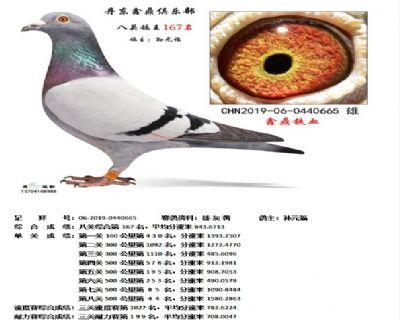 丹东鑫鼎八关鸽王167名