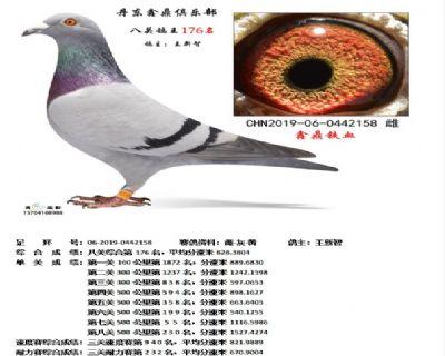 丹东鑫鼎八关鸽王176名