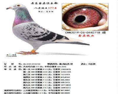 丹东鑫鼎八关鸽王177名