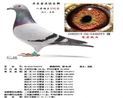 丹东鑫鼎八关鸽王190名