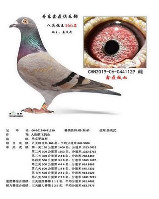 丹东鑫鼎八关鸽王166名