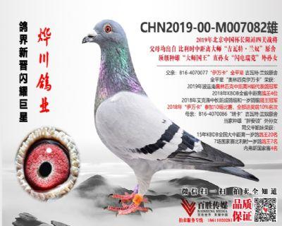 """长阳国际战鸽  """"奥林匹克伊万卡""""全平辈直子 M007082"""