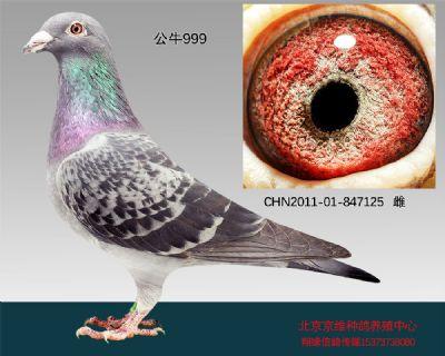 """""""公牛999""""-847125"""