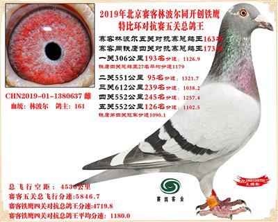 19北京赛客林波尔同铁鹰1.25万羽对抗四总鸽王163名