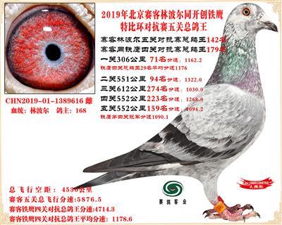 19北京赛客林波尔同铁鹰1.25万羽对抗四总鸽王142名