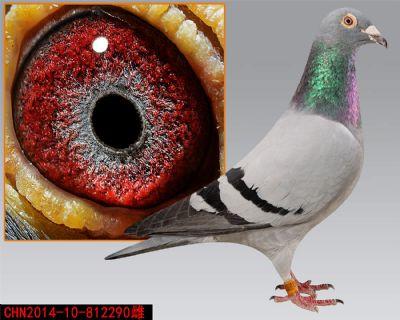 引进种鸽--天一电脑回血--子代海淀500公里33名