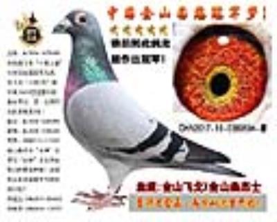 """飞戈12万羽全国冠军兄弟直子X桑杰士""""女神""""直女"""