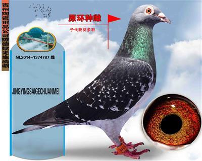 贵州陶瓷公司陈德斌清棚种鸽(原环种雌)
