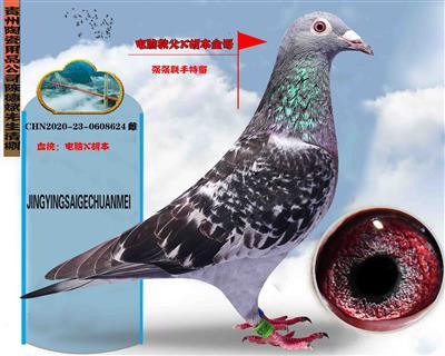 贵州陶瓷用品公司陈德斌先生(二羽黄金种鸽配对直女)