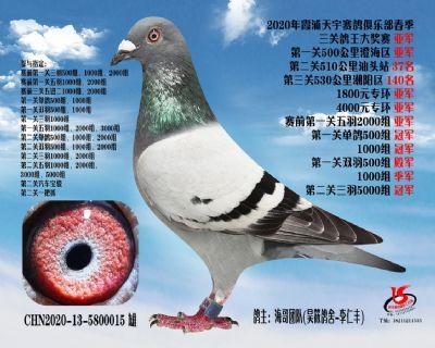 福建天宇三关鸽王亚军