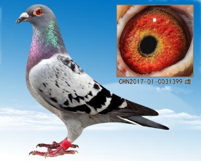 凡龙 超级73 特留种鸽