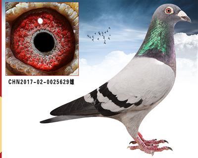 凡龙超级73   近亲特留种鸽